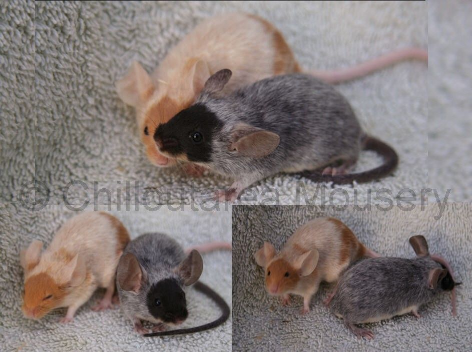 Recessive Red Merle And Black Merle Fancy Show Mice Pet Mice