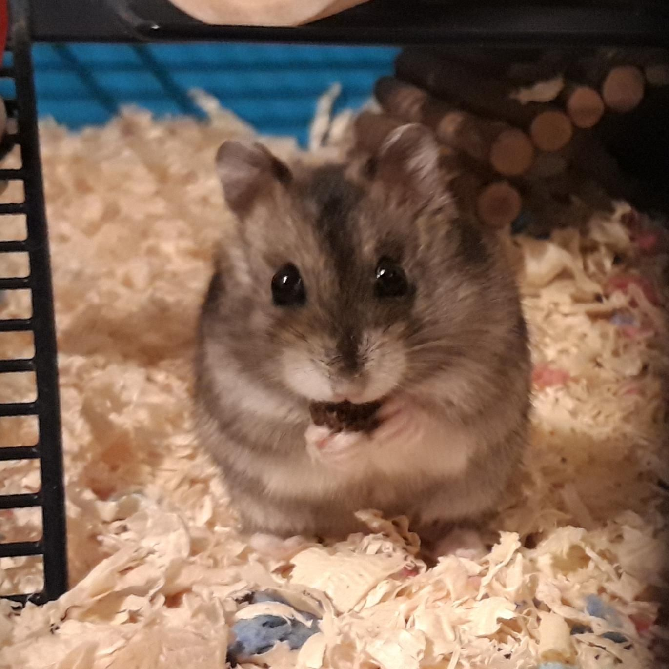 Pin By Meara Huheey On Cute Dwarf Hamster Hamster Funny Hamsters