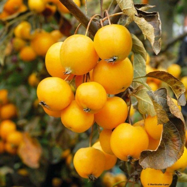pommier d 39 ornement malus golden hornet trees pinterest arbuste pommier et fruit jaune. Black Bedroom Furniture Sets. Home Design Ideas