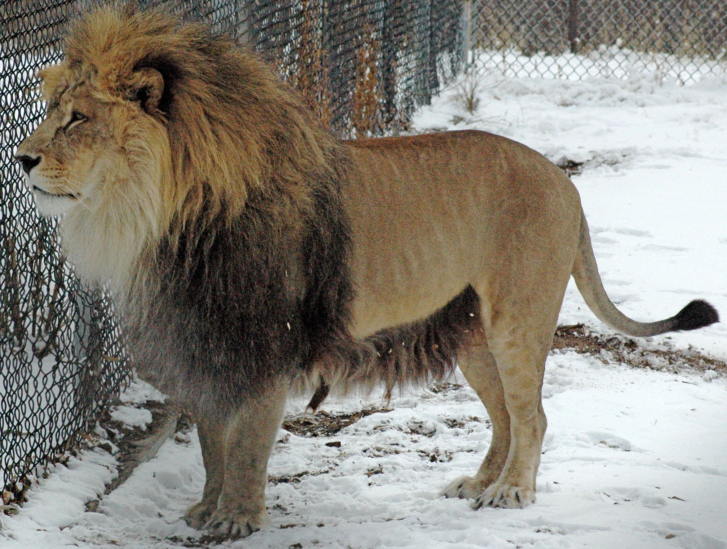 Daniel the lion has Barbary lion characteristics. This boy had a blast chasing his roomie around in the snow.
