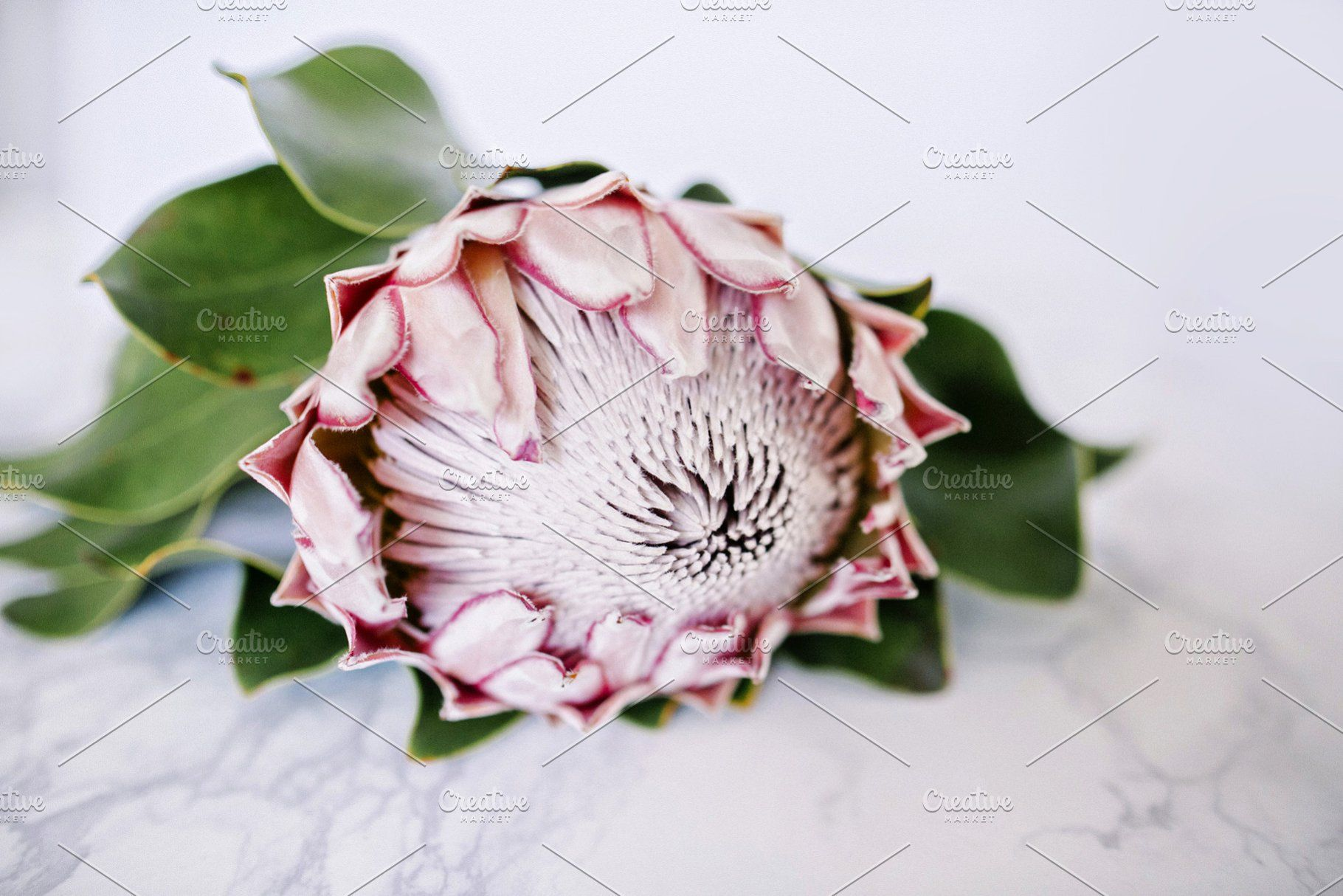 King Protea On Marble Desktop Protea Flower King Protea Protea