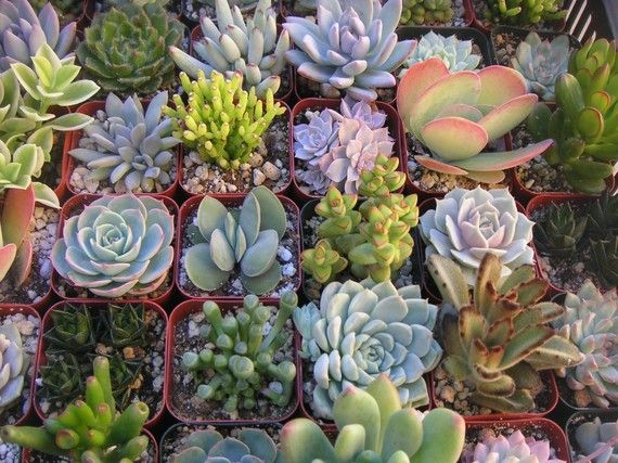 A Collection Of 6 Colorful Succulent Plants, Great For Terrarium Projects,  Special Events, Centerpieces, Container Gardens