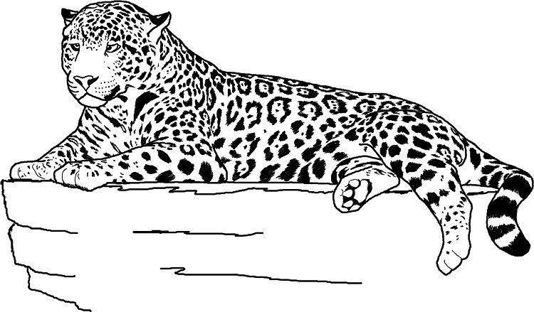 Full Size Jaguar Coloring Pages Com Imagens Animal Jaguar
