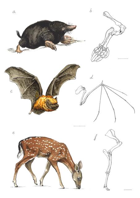 Anatomía comparada de la extremidad anterior en tres especies de ...
