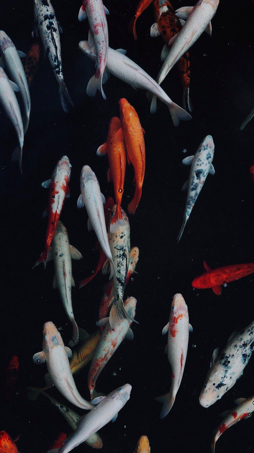 Koi Fish Fish Wallpaper Iphone Koi Wallpaper Fish Wallpaper