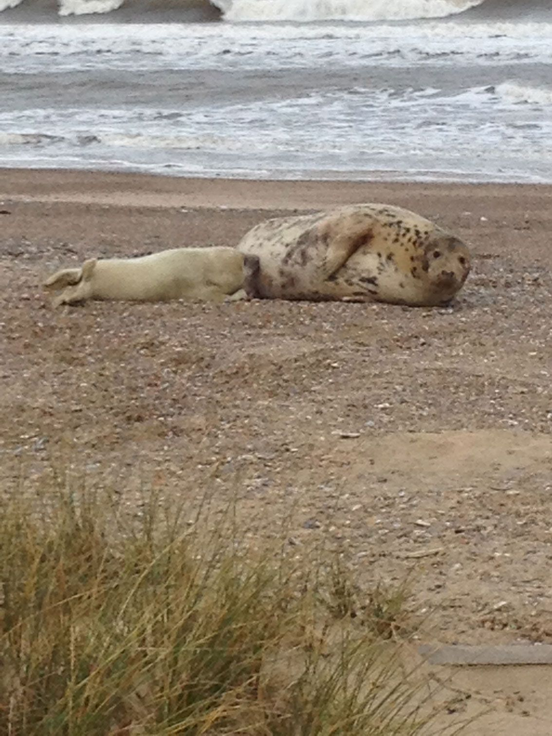 Mother seal suckling her young one...North Norfolk (The