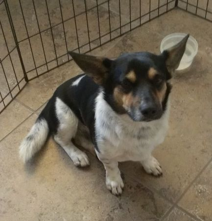 Found Dog Corgi Mix Green Creek Dr 77070 A Dog Started Following Me On Green Creek Dr While I Was Running