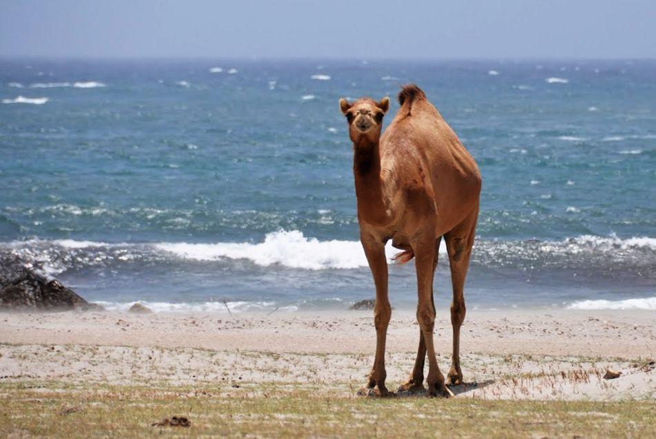 Oman Ship Of The Desert At The Ocean Salalah Credit Gael Le Dortz View On Instagram Http Instagram Com Omanpo Around The World Cruise World Cruise Oman