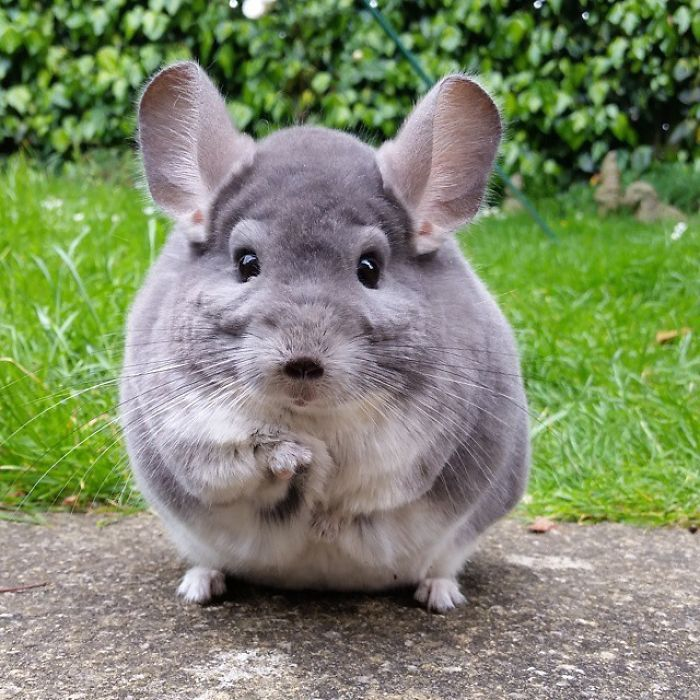 These Chinchillas Butts Are So Round They Look Fake Chinchilla Chinchilla Pet Cute Baby Animals