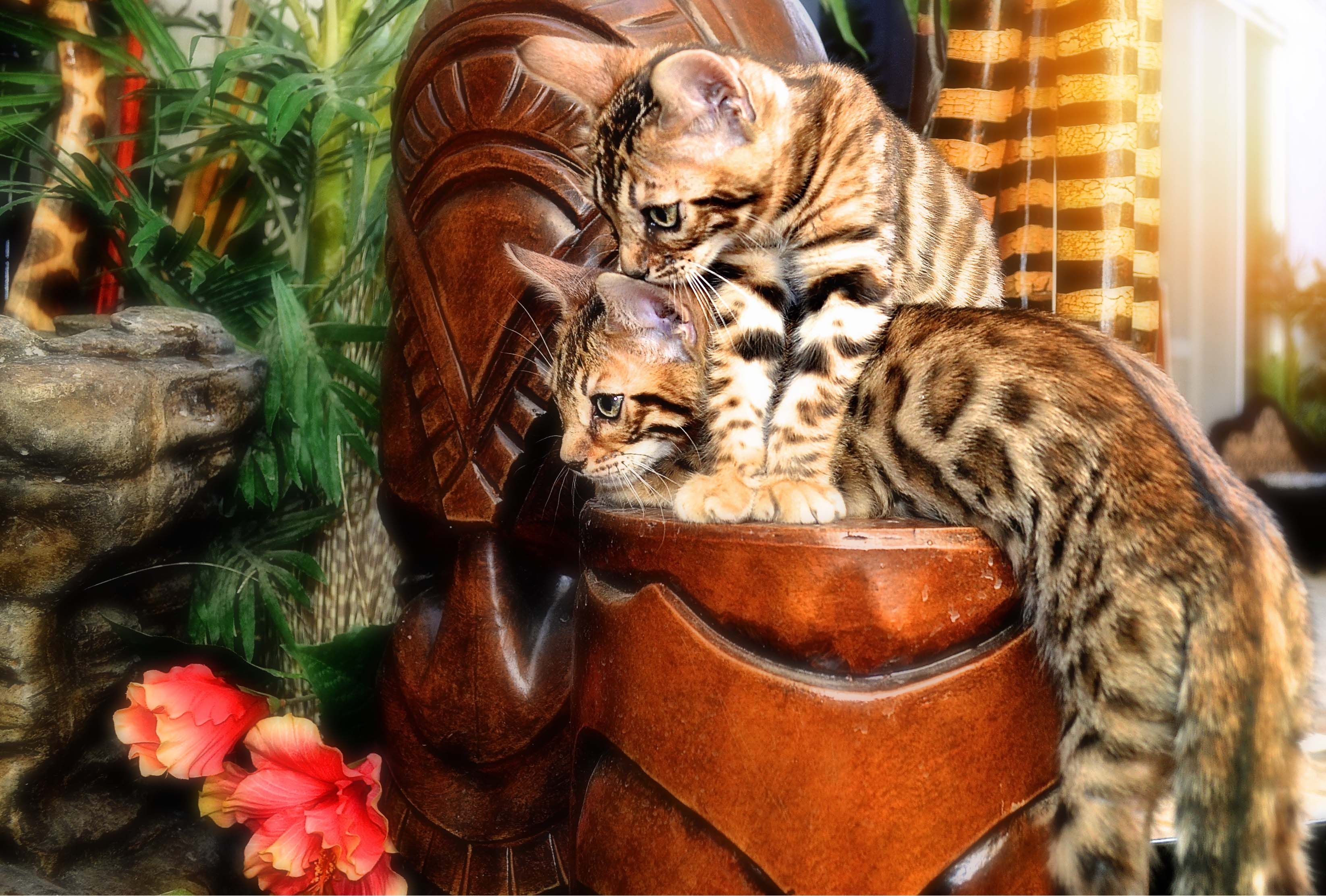 Bengal kittens for sale. Sister holding brother down. Cute