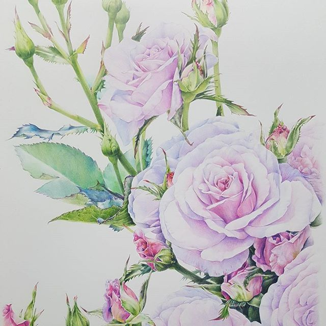 #rose #botanicalillustration #botanicalart #colorpencil #working #faber_castel #flower #보태니컬아트 #꽃그림 #꽃그림그리기 #작업중 #장미 #식물화