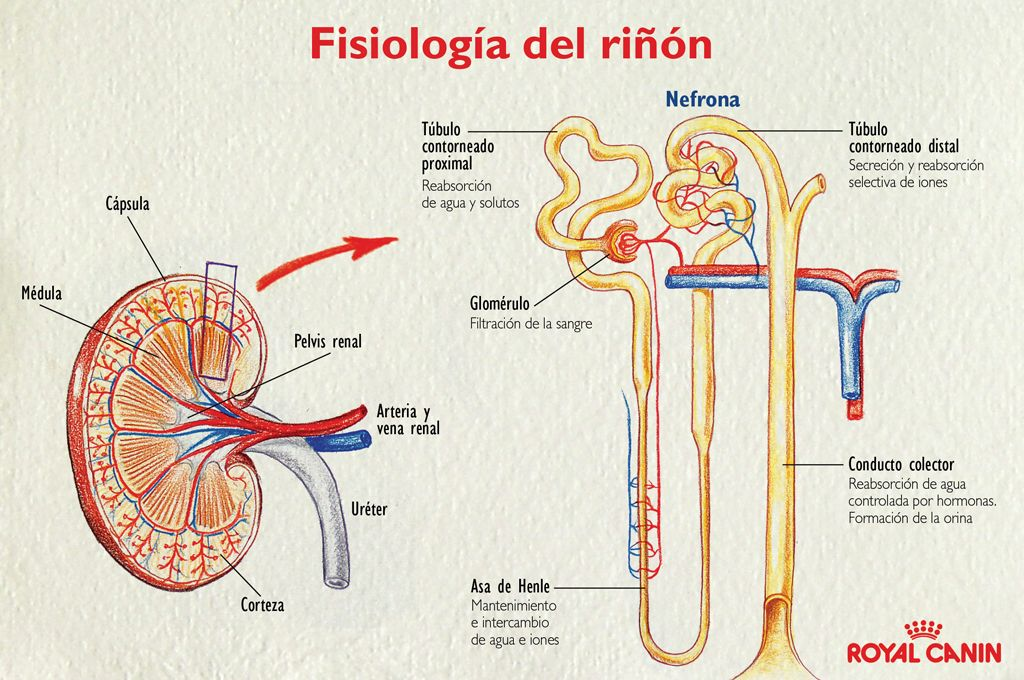 FISIOLOGIA SISTEMA RENAL - Buscar con Google | medicina | Pinterest ...