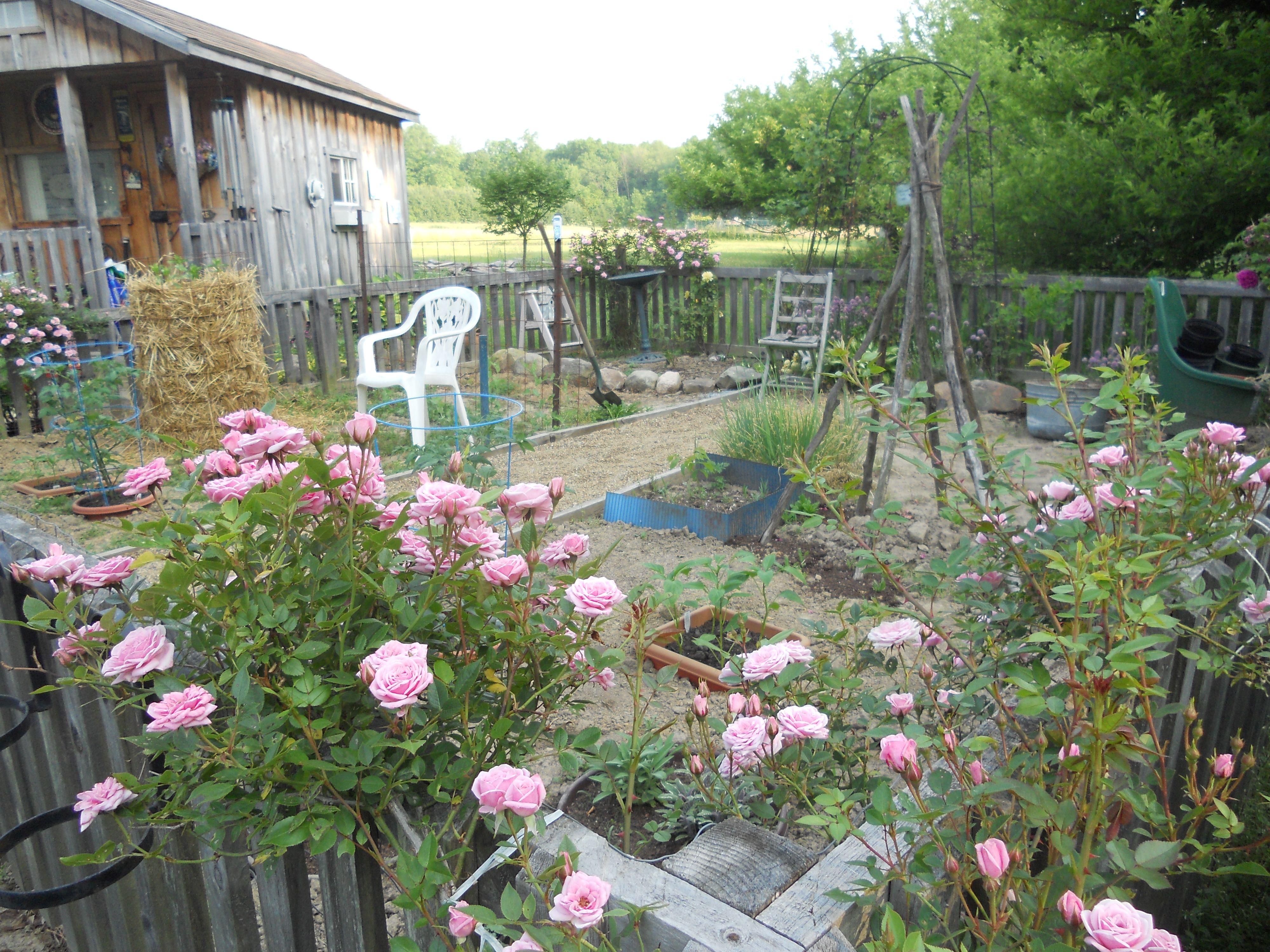 my garden this year has sunken pots and a potato tower garden