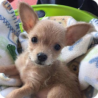 Pin By Grandma S Baby Blankets On Cute Funny Pets Chihuahua