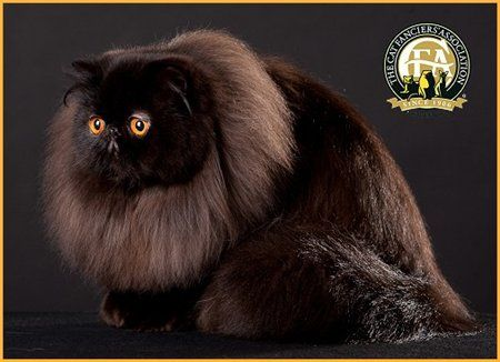 6th BEST CAT GC, BW, NW AOL MAMBO Black Persian