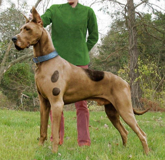 d38277d5 He's real - Scooby Doo! I always wanted to do this with our Dane. |  #ScoobyDoo #PawsitiveDogma #70s #dogs #pets #puppy #famousdog