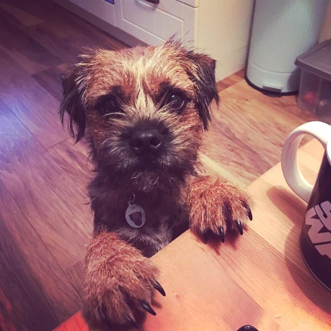 Oh hi border terrier terrier brown dog