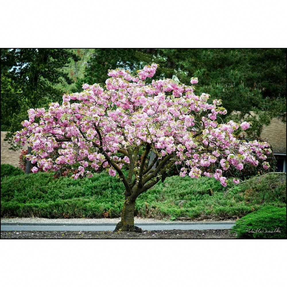 Online Orchards Kwanzan Cherry Blossom Tree Bare Root Flch001 The Home Depot Usda Zones 4 10 Flowering Cherry Tree Japanese Garden Plants Trees To Plant