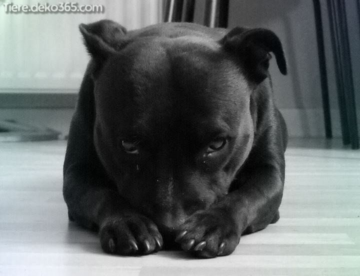 Besten Bilder Von Schwarzen Pitbull Mit Bildern Pitbull Hund Hunderasse Supersusser Welpe