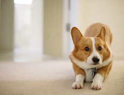 Corgi stretch