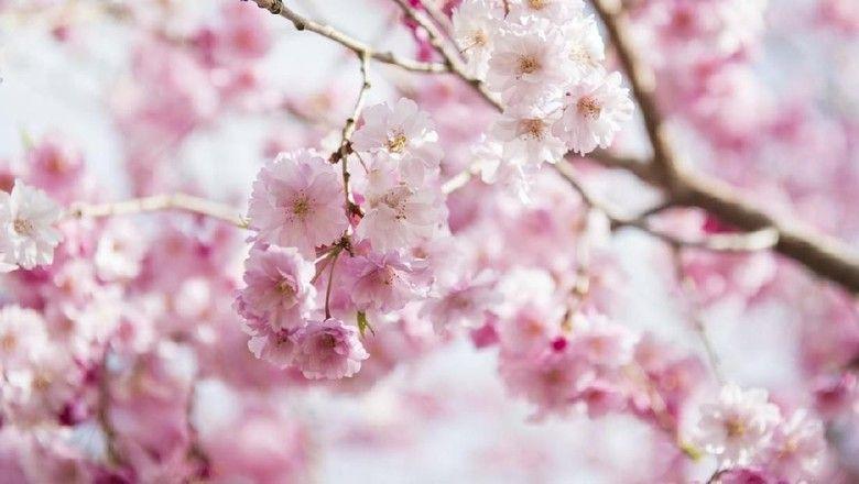 400 Gambar Bunga Sakura Terindah Hd Terbaru Gambar Bunga Bunga Sakura Seni Pohon
