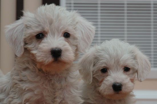 Westie Poodle Mix Waaant Purdypuppy Com Reputable Breeders In Innisfil Ontario 30 Min North Of Toronto Canadian Dogs Dog Breeder Poodle Mix