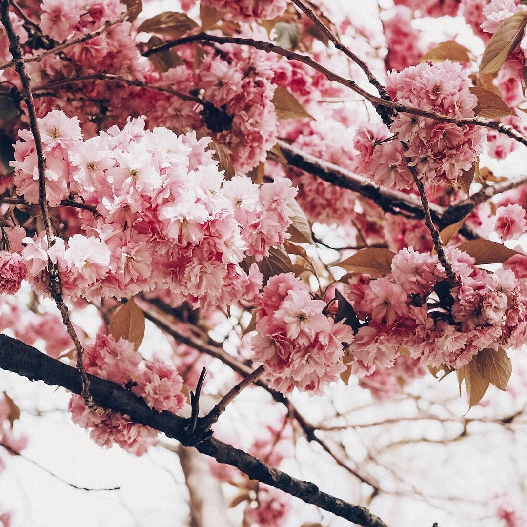 Beautiful Pink Blossoms Pink Blossom Instagram Road Trip Uk