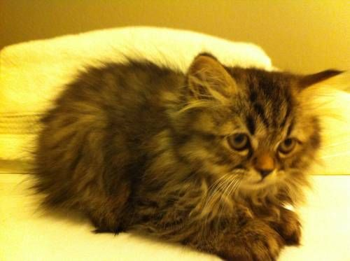 Tabby Persian Kittens With Images Persian Kittens Kittens