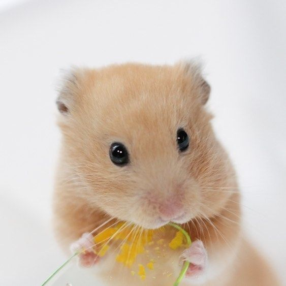 Pin By Pao Hsin Chen On Hamsterbilder Cute Animals Cute Hamsters Cute Baby Animals