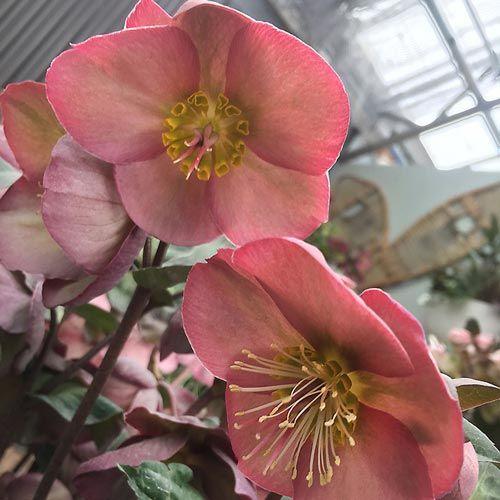 Penny S Pink Hellebore Spring Hill Nursery Lenten Rose Light Pink Flowers