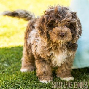 Chocolate Merle Australian Labradoodle Puppy Australian Labradoodle Puppies Australian Labradoodle Labradoodle Puppy