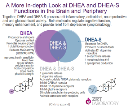 Dhea And Dheas Dhea Hormone Therapy Cortisol