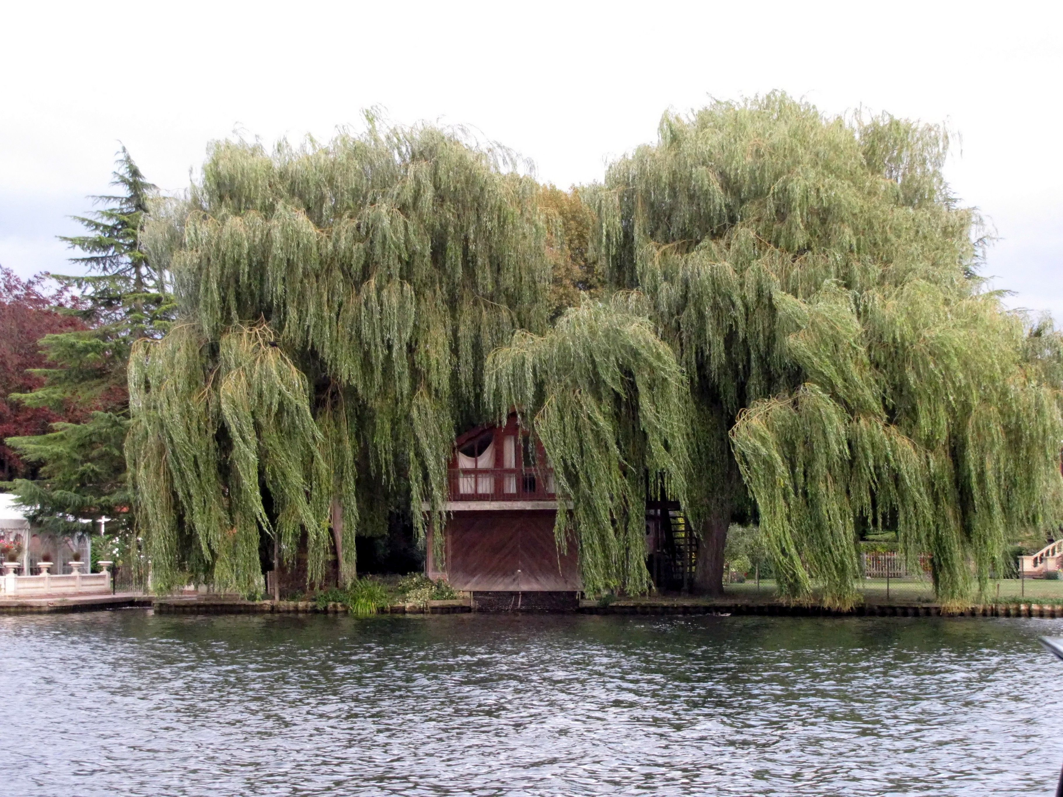 Willow trees beside the Thames in Marlow, UK 2009, photo by K Cheek