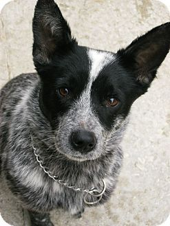 Knoxville Tn Blue Heeler Mix Meet Roxie A Dog For Adoption