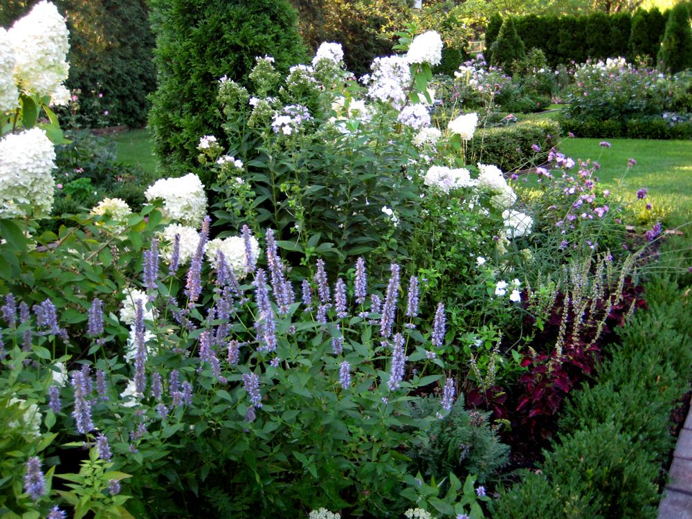 Limelight hydrangea and Agastache Blue Fortune in the garden