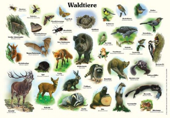waldtiere animals tiere poster lerntafeln tiere waldtiere wald. Black Bedroom Furniture Sets. Home Design Ideas