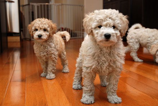 Bichon Poo Puppies For Sale Puppies Puppies For Sale Bichon