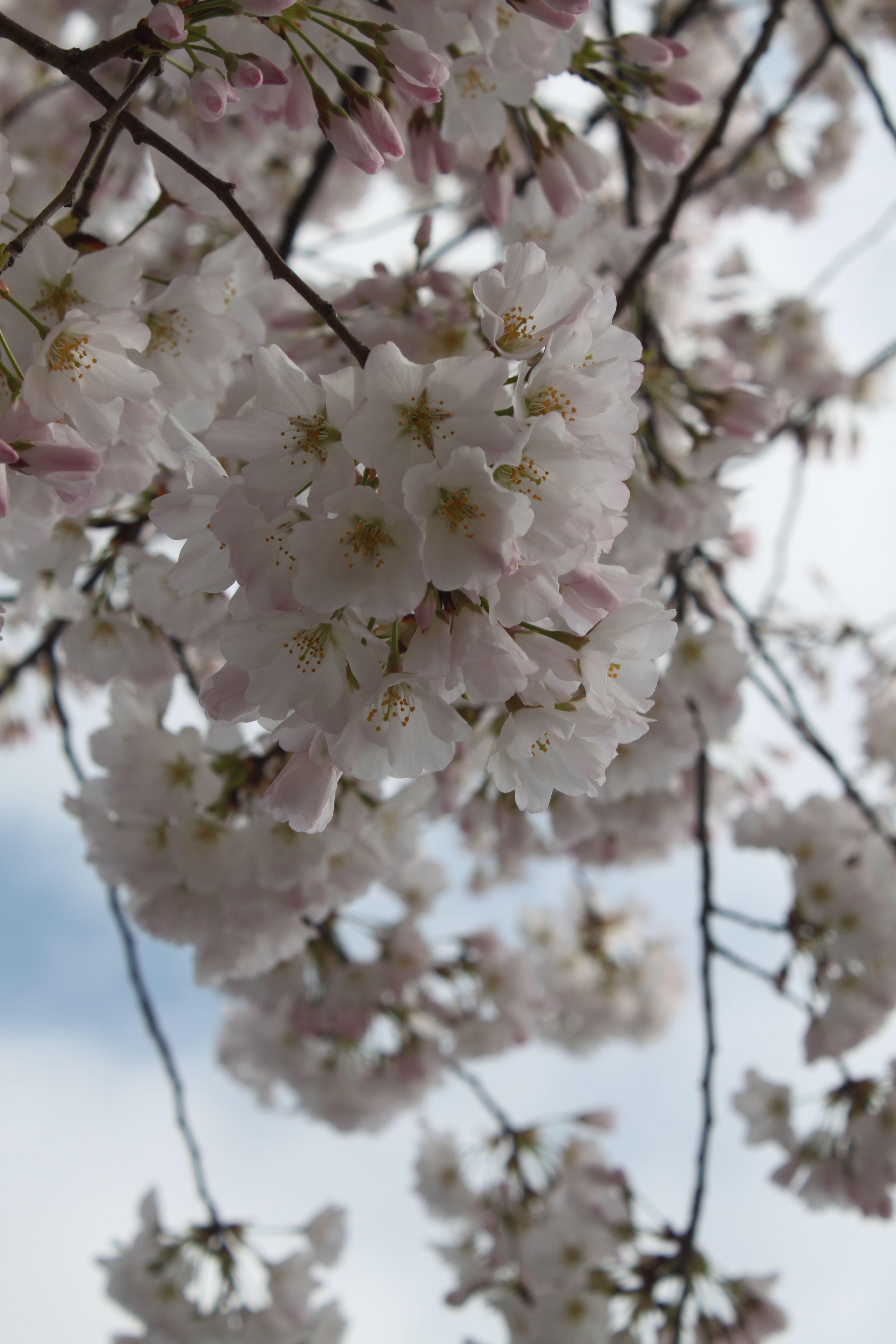 Cherry Blossoms In Washington Dc I Love Washington Dc The
