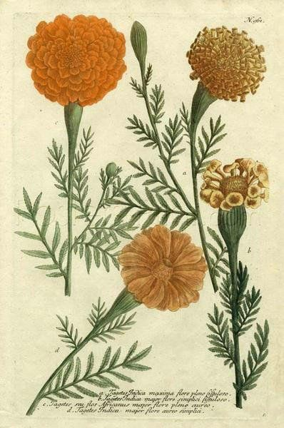 Marigold Magic II Giclee Print Poster by Johann Wilhelm Weinmann Online On Sale at Wall Art Store – Posters-Print.com