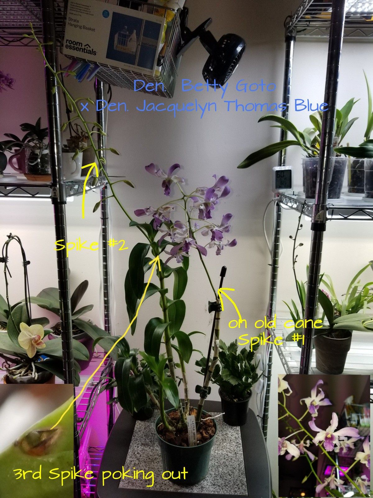 I Found A Nice Surprise On My Dendrobium Hybrid From Little Brook Orchids In Lancaster Pa Upon Inspecting The Den Betty Goto Types Of Orchids Orchids Bloom