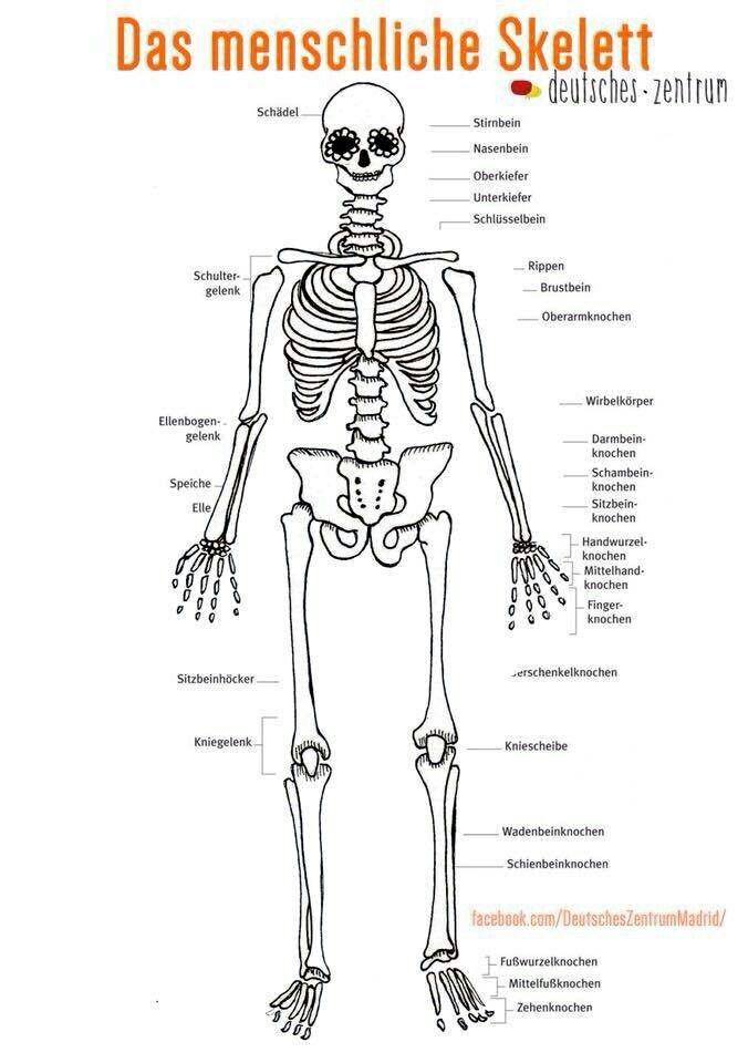 Gemütlich Anatomie Zurück Knochen Galerie - Anatomie Von ...
