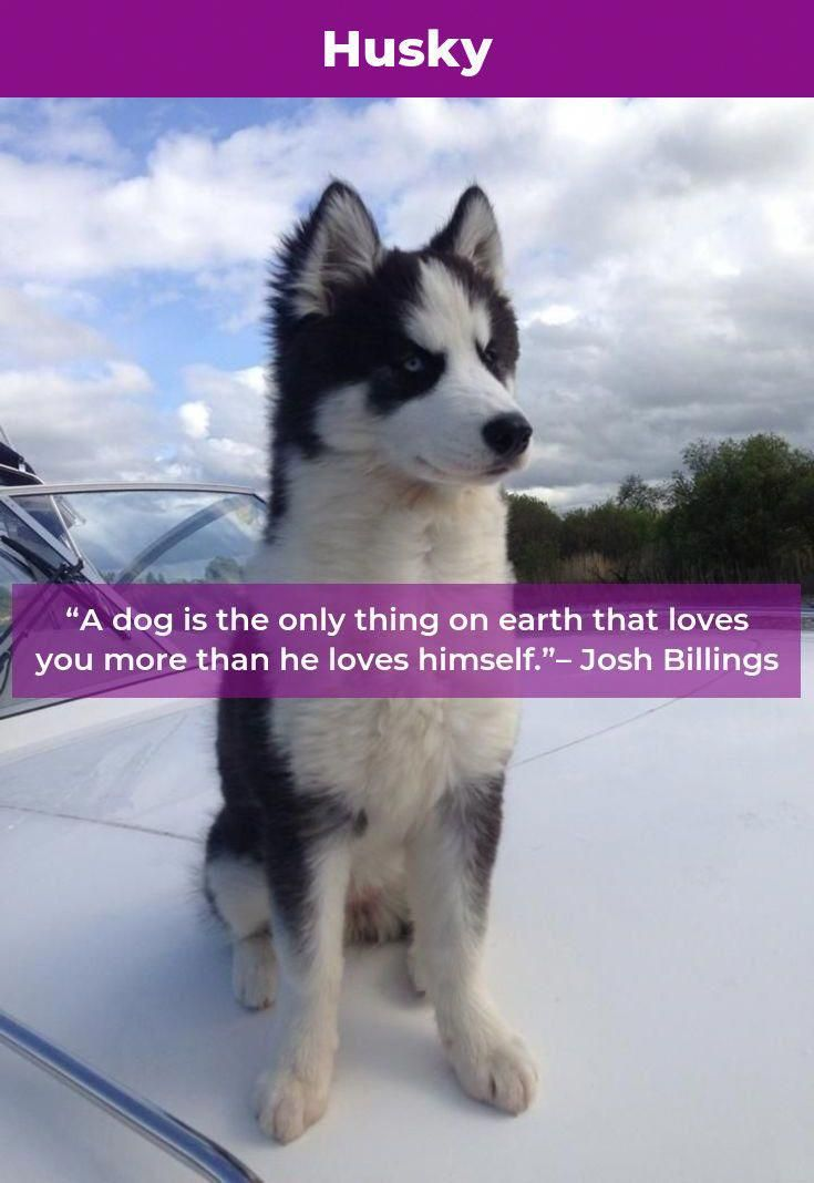More About Intelligent Siberian Husky Dogs Grooming