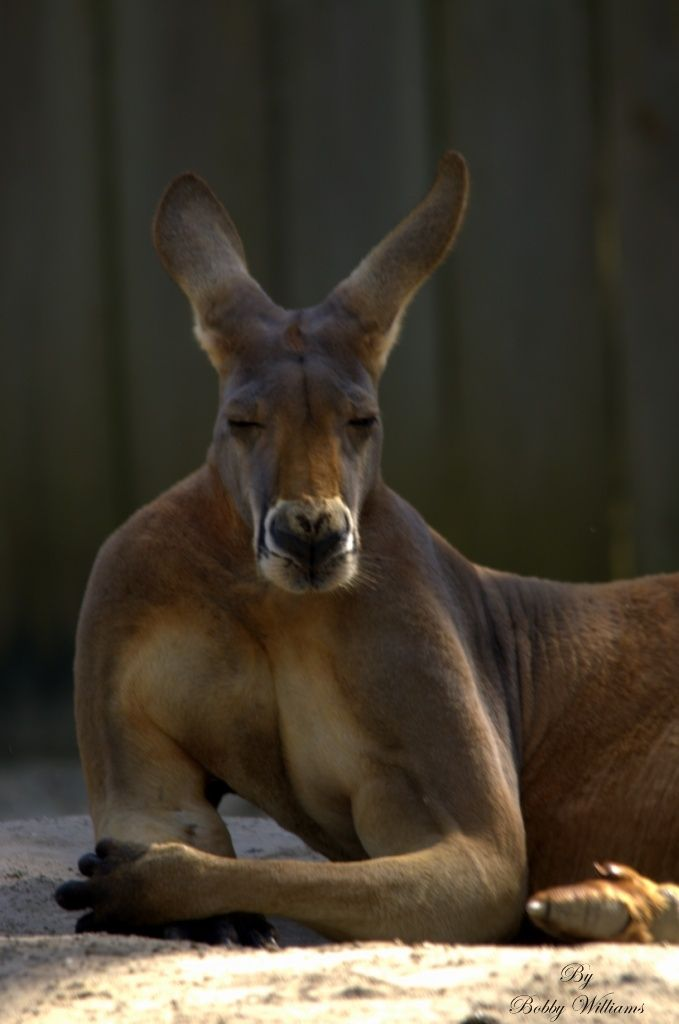 Kangaroo Im The Biggest And The Best Do You Have A Problem With That