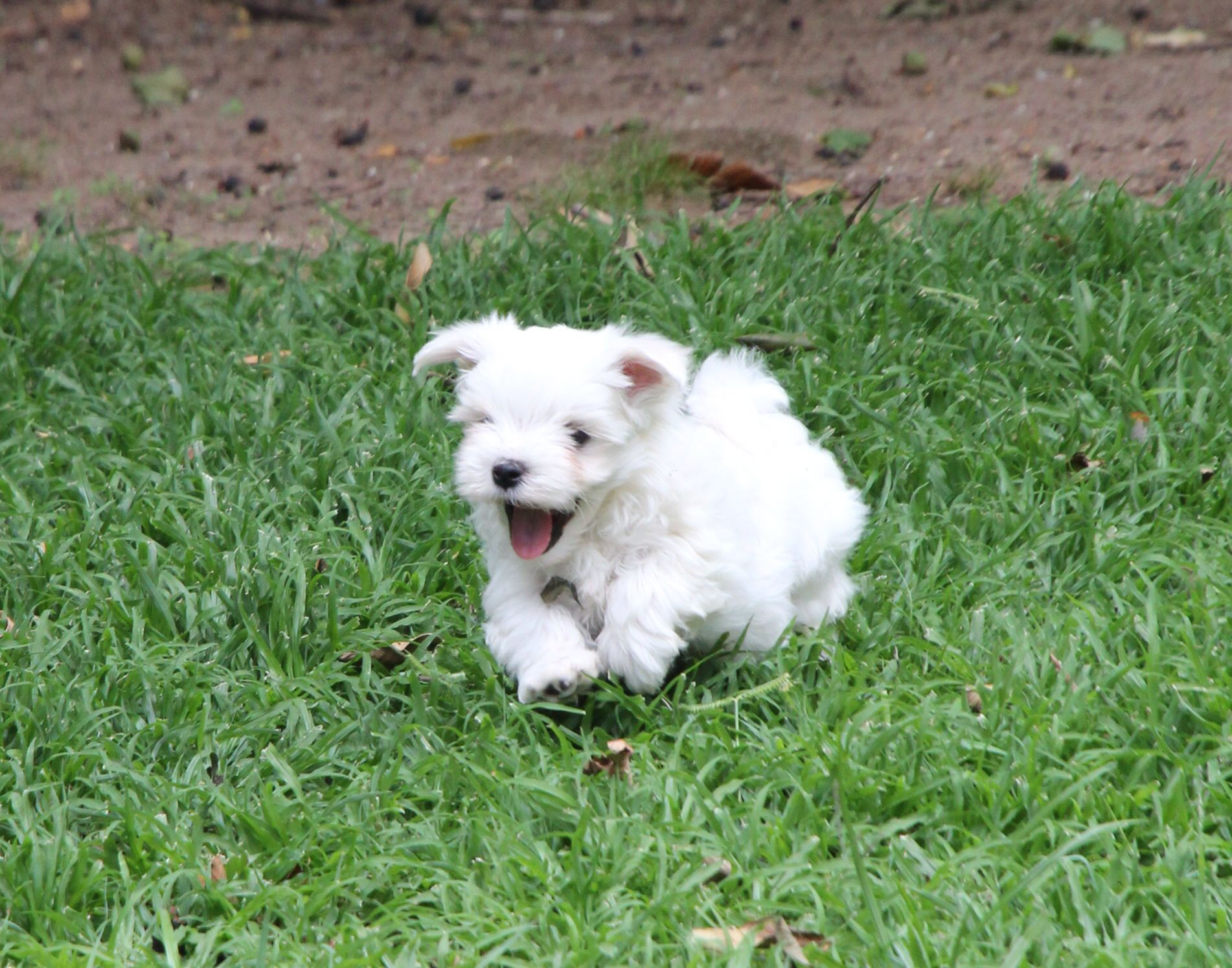 Maltese Puppy Going For A Run Adorable Cute Happy Outdoors Puppy Cheerful Maltese Fun Fluffy Puppies Puppies Maltese Animals
