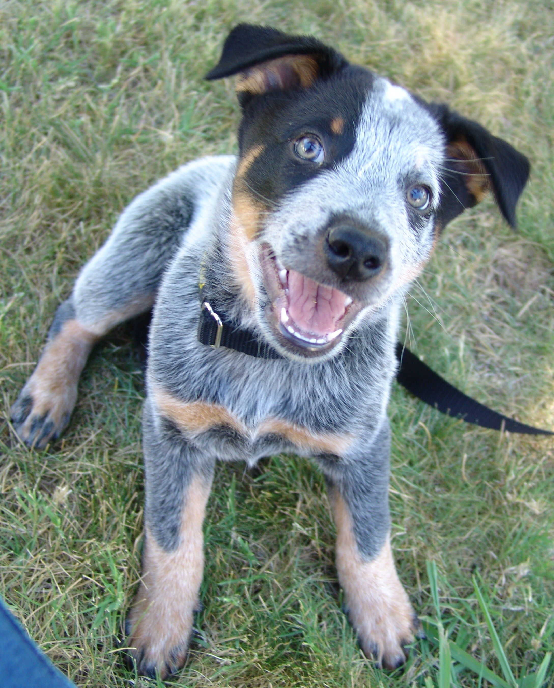 My Brutus 3 Australian Cattle Dog 8 Weeks Blue Heeler