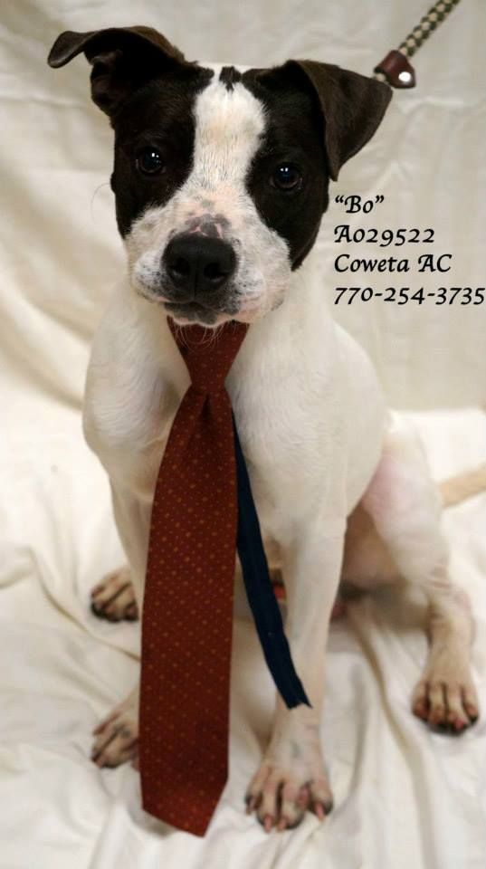 """Tx-8 EXTREMELY URGENT! LAST CHANCE! THIS PET WILL DIE FRIDAY 7/24/15 Breed: Pointer Mix Sex: Male Age: Adult (1 year) Size: Medium  Weight: 38 lbs  ID: A029522 Shelter Name: """"Bo"""" Vaccinated, Heartworm NEGATIVE"""