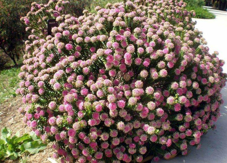 Arbusto Perenne Presentado En Diversos Tipos De Maceta Altura Y Edades Puede Alcanzar Los 1 5 Metros De Altura Ori Arbustos Perennes Arbustos Hoja Perenne