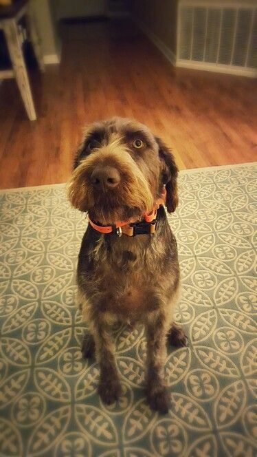 Tuff German Wirehaired Pointer German Wirehaired Pointer Hunting Dogs Vizsla