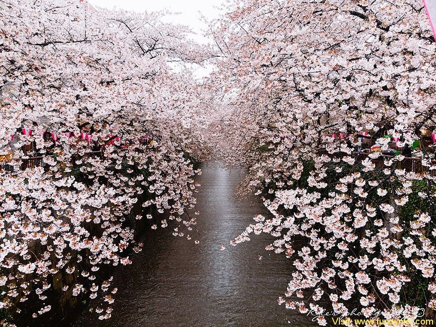 21 Most Pretty Japanese Cherry Blossom Photos Of 2014 Time To Stop And Smell The Sakura Fun Cherry Blossom Japan Japanese Cherry Blossom Cherry Blossom Season