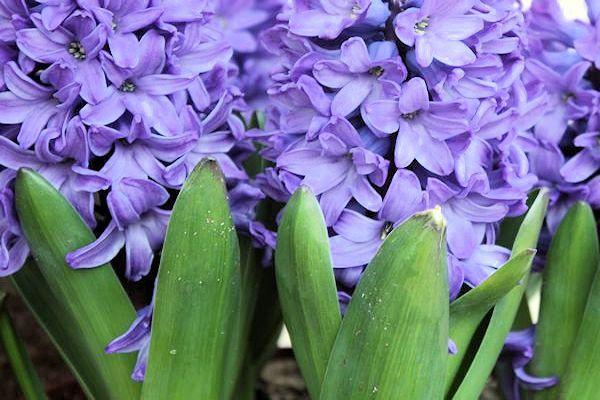 Farbe Dieses Monats Im Garten 12 Schattierungen Von Lila Bluten Fur Ihren Garten Ideen Baum Lila Garten Lila Bluten Garten